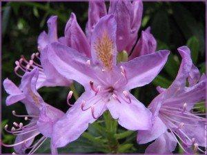 Et si.... dans Citations fleurs-preferes-fleur-lys-1001-big-300x225